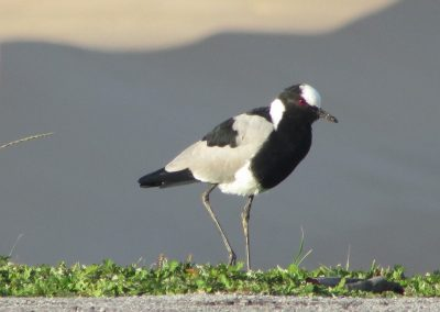 Lapwing BS1